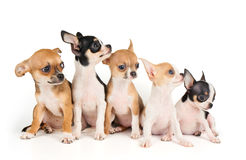 Five puppies of Chihuahua Royalty Free Stock Photos