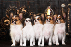 Five puppies on a dark background Royalty Free Stock Photo