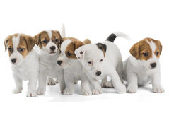 Five puppies Jack Russell Terrier Royalty Free Stock Images