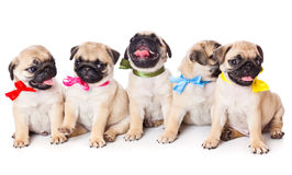 Five puppies of pug Royalty Free Stock Image