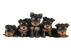 Five puppies Royalty Free Stock Photography