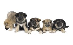 Five puppy Royalty Free Stock Images