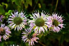 Five purple bee balm blossoms on dark green backgorund royalty free stock photo