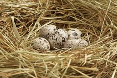 Five quail eggs in nest Stock Photography