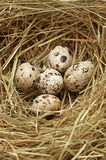 Five quail eggs in nest Stock Images
