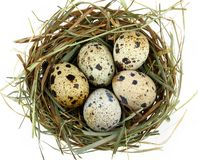Five quail eggs in the nest, close up Stock Image