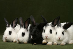 Five rabbits Stock Photo