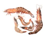 Five raw shrimps with different size. Royalty Free Stock Images