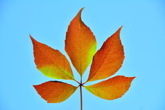 Five brown leafs in the sun. Royalty Free Stock Images