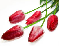 Five red buds of tulips Royalty Free Stock Photography