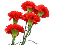 Five red carnations Royalty Free Stock Image
