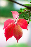 Five red leafs on branch Royalty Free Stock Image