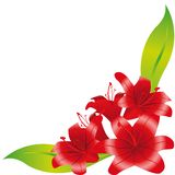 Five red lilies 1 Royalty Free Stock Photo