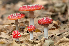 Five red mushrooms fungi