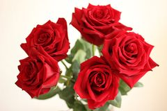 Five red roses on white background royalty free stock photos