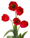 Five red tulips bouquet Royalty Free Stock Photo