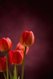 Five red tulips on dark background Stock Photography