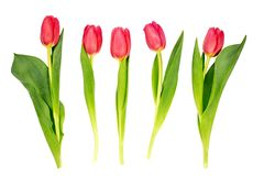 Five red tulips isolated over white background Royalty Free Stock Image