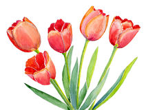 Five red tulips royalty free illustration