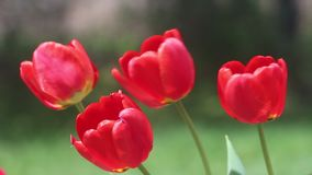Five red tulips open blooms blowing in the wind on a sunny day stock video footage