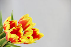 five red tulips with yellow stripes on a white background. Stock Image