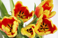 five red tulips with yellow stripes on a white background. Stock Photo