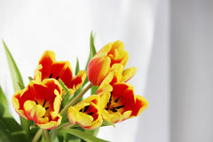 five red tulips with yellow stripes on a white background. Royalty Free Stock Photo