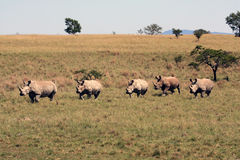 Five rhinos run across the Savannah Stock Images