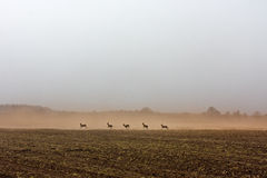 Roe deer running Stock Images