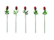 Five Roses. Five isolated long stem roses Royalty Free Stock Images