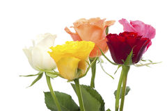 Five roses in different colors Royalty Free Stock Image