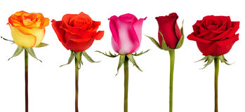 Five roses of different colors Stock Images