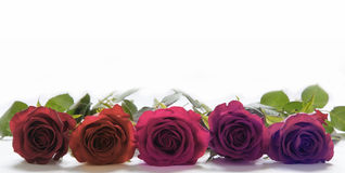 Five Roses laid side by side. Five red rose heads laid flat close-up side by side on white background Stock Image