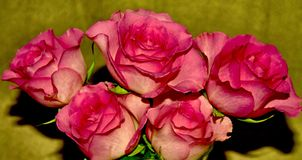 Five Roses. Five red roses Royalty Free Stock Photos