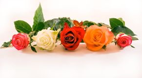 Five roses in a row. Five half open roses in a row on white background Royalty Free Stock Image