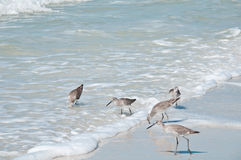 Five sandpipers feeding at the waters edge Stock Photos