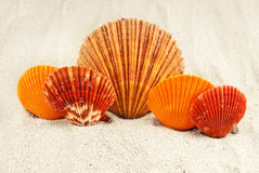 Five scallops. Stock Photo