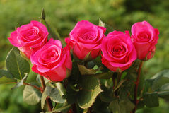 Five scarlet beauty roses Stock Photography