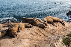 Five Seals on a Cliff in La Jolla, California Royalty Free Stock Photos