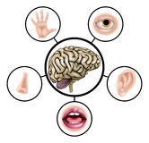 Five senses brain. A science education illustration of icons representing the five senses attached to central brain Stock Photos