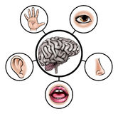 Five Senses Brain. A science education illustration of icons representing the five senses attached to central brain stock illustration