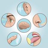 Five senses set. A set of six anatomical images Royalty Free Stock Photos
