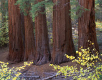 Five Sequoias. Five Sequoia tree trunks in Yosemite National Park, California Stock Photo