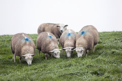 Five sheep on grassy dike in holland Royalty Free Stock Photography