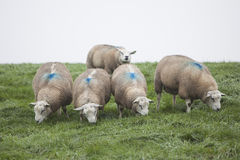 Five sheep on grassy dike in holland Stock Photos