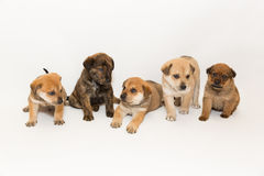 Five Shepherd Mix Puppies Royalty Free Stock Photography