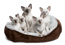 Five Siamese Kittens sitting in cat bed. Five Siamese Kittens, 10 weeks old, sitting in cat bed in front of white background Royalty Free Stock Image