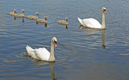 Five Signets Out With Parent Birds. Stock Images