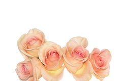 Five Silky Coral Pink Roses Tightly Curled Stock Images