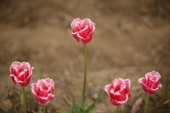 The Five Sister Tulips, Sakura, Japan Royalty Free Stock Photography